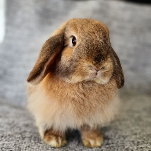Honey - Cashmere x Lop Eared Rabbit