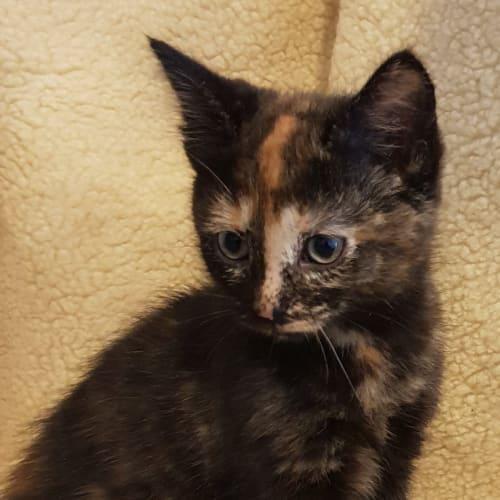 Lindsay  - Domestic Short Hair Cat