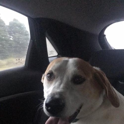 Harley - Beagle Dog