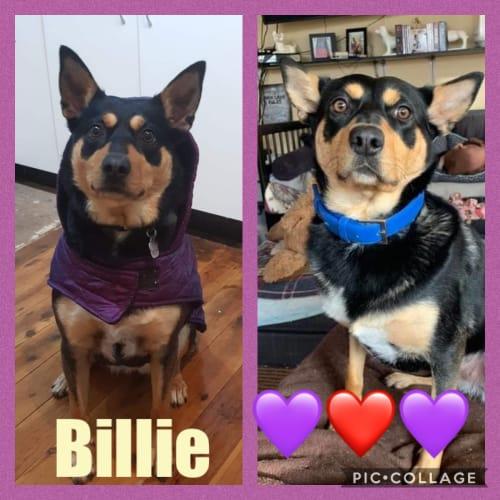 Billie Bumble - Kelpie Dog