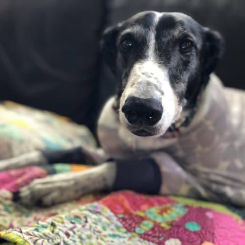 Marnie - Greyhound Dog