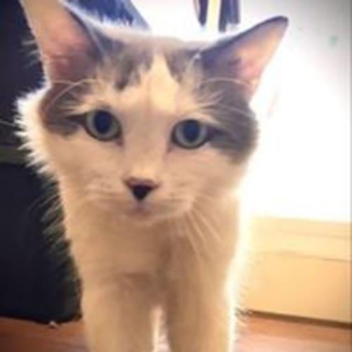Aubree - Domestic Short Hair Cat