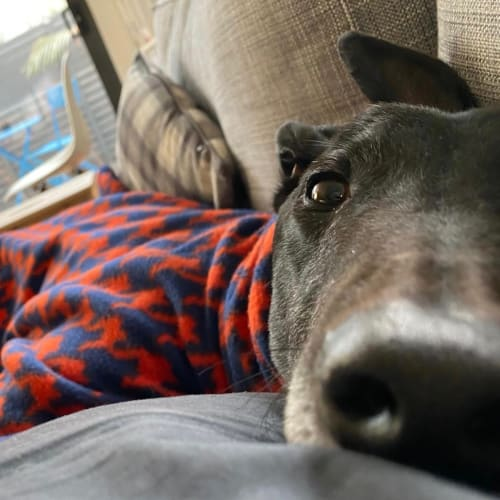Elmo.    Melbourne  - Greyhound Dog