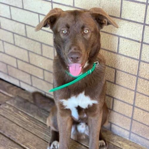 Angus - Kelpie Dog