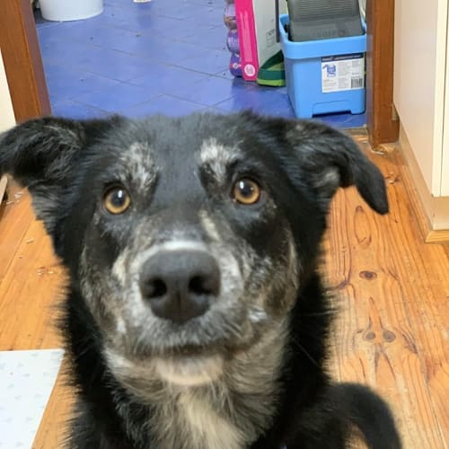 Bailey - Kelpie x Border Collie Dog