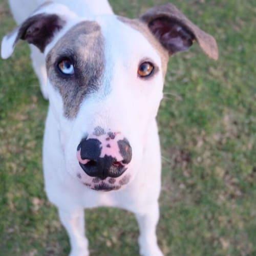 Gizmo  - Bull Arab x Greyhound Dog