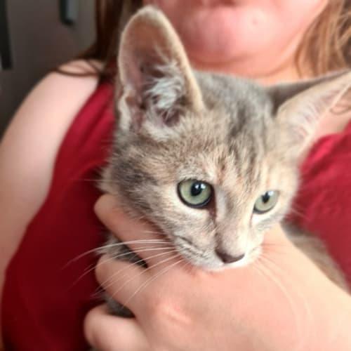 Pearlie - Domestic Short Hair Cat