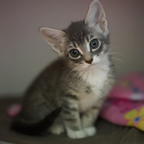 Livvy - Domestic Medium Hair Cat