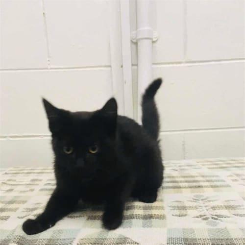 Lulla - Domestic Short Hair Cat