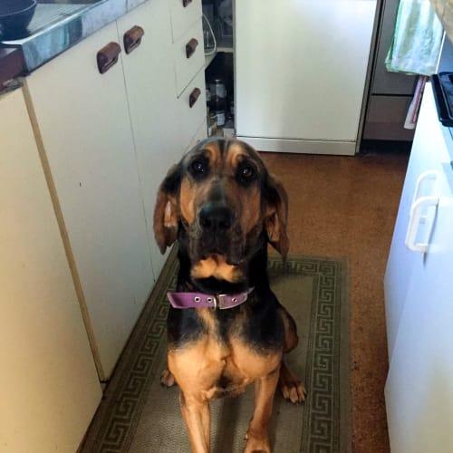 Nina - Bloodhound Dog