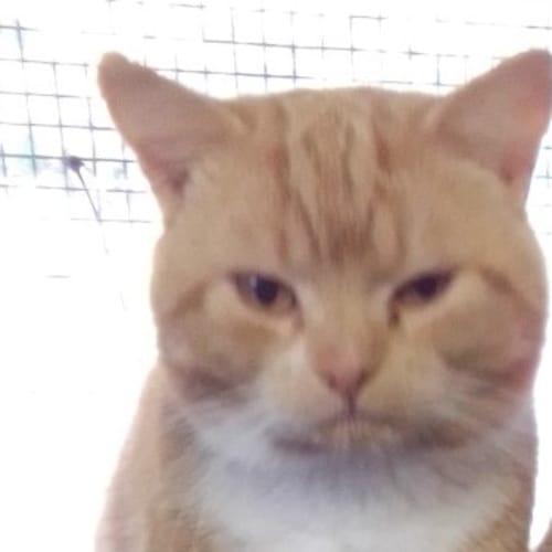C707 Alvin - Domestic Short Hair Cat