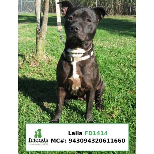 Laila - Staffordshire Bull Terrier Dog