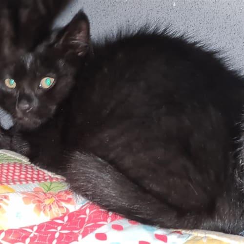 Huey - Domestic Short Hair Cat