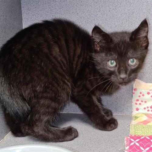 Duey - Domestic Short Hair Cat