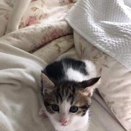 Tabby - Domestic Short Hair Cat