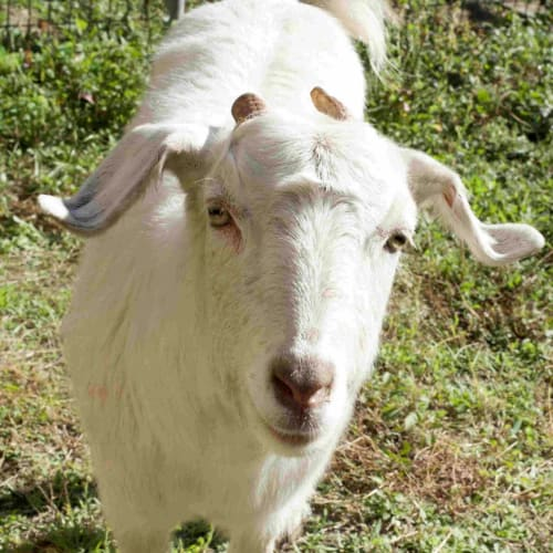 Curly -  Goat