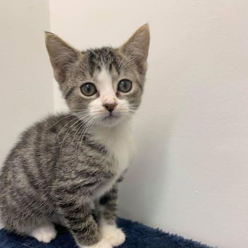 Ulva - Domestic Short Hair Cat