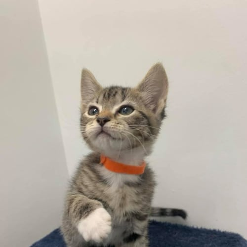 Unique - Domestic Short Hair Cat