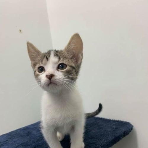 Ulalia - Domestic Short Hair Cat