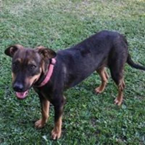 Abby - Mixed Breed Dog