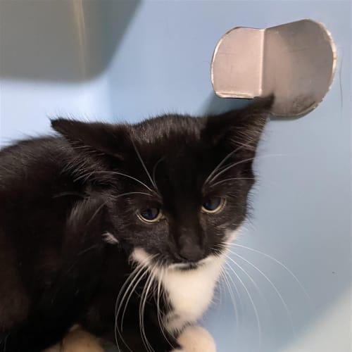 Lady Penelope - Domestic Short Hair Cat