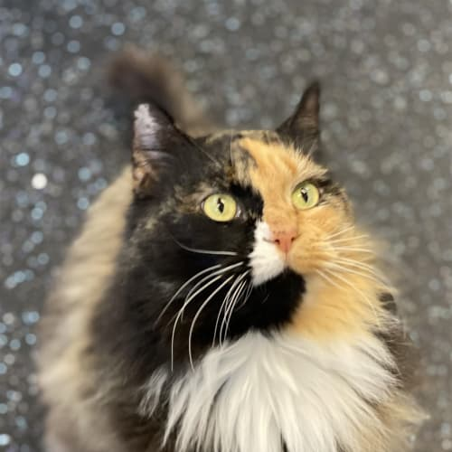 Lolly - Domestic Longhair Cat
