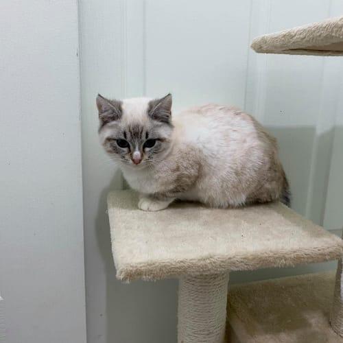 Burma **2nd Chance Cat Rescue**