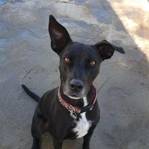 Lula - Kelpie X Dog