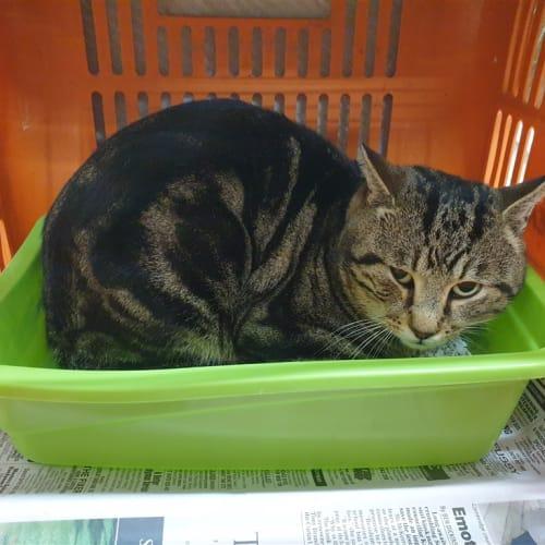 Dedj - Domestic Short Hair Cat