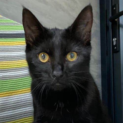 Thumbelina - Domestic Short Hair Cat
