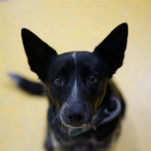 Midnight - Australian Cattle Dog x Kelpie Dog