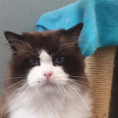 Bernard - Ragdoll Cat