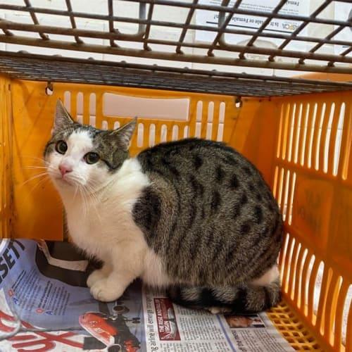 Jonas - Domestic Short Hair Cat