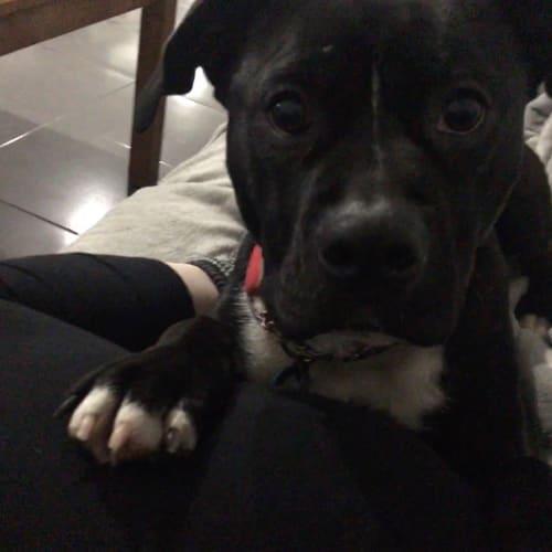 Barney - Staffy Dog