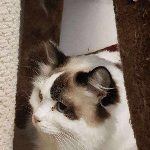 Anastasia - Ragdoll Cat