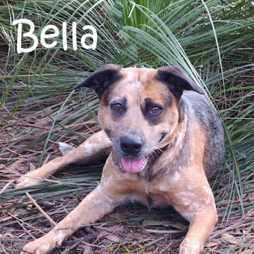 Bella - Cattle Dog