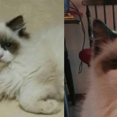 Clyde - Ragdoll Cat