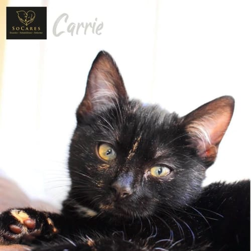 Carrie - Domestic Short Hair Cat