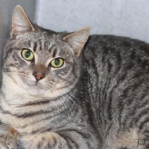Hamish - Domestic Short Hair Cat