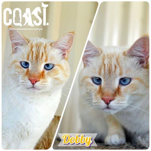 Dobby  - Ragdoll Cat