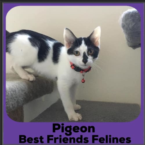 Pigeon  - Domestic Short Hair Cat