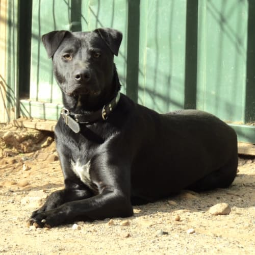 Shaddow - Shar-Pei x Kelpie x Labrador Dog