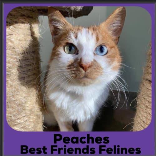Peaches  - Domestic Medium Hair Cat