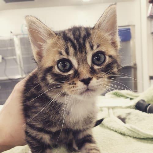 Jude - Domestic Medium Hair Cat