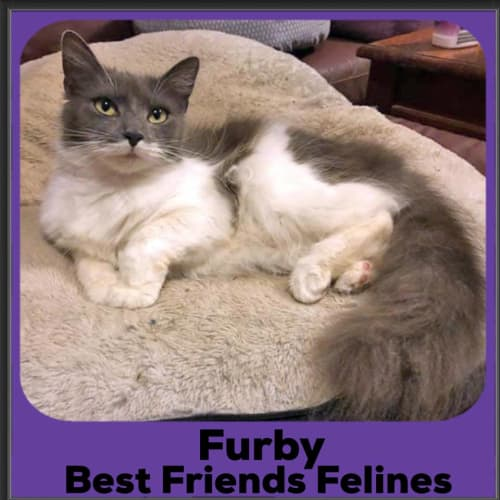 Furby  - Domestic Long Hair Cat