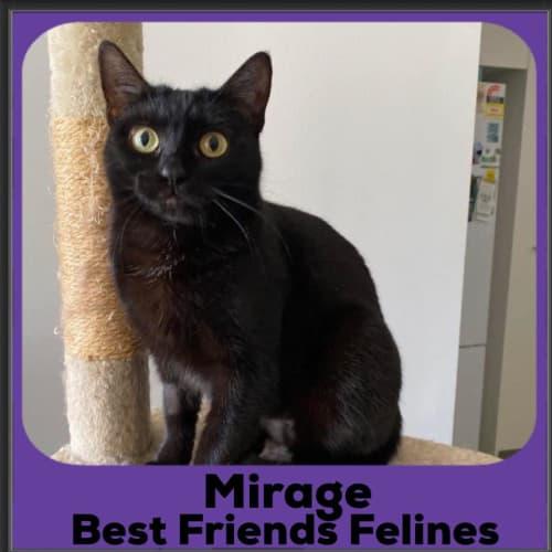 Mirage  - Domestic Short Hair Cat