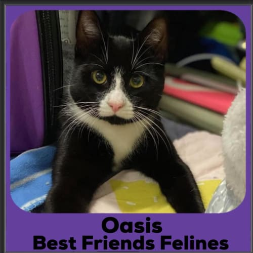 Oasis  - Domestic Short Hair Cat