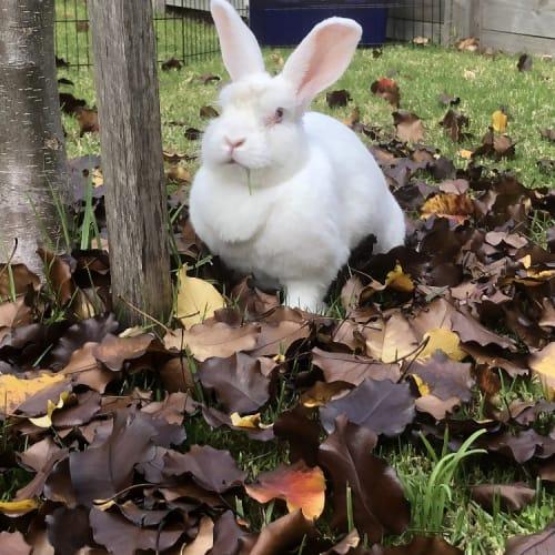 Sharon - New Zealand White Rabbit