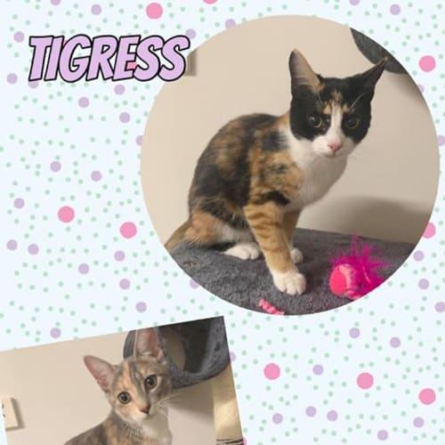 Meechee & Tigress - Domestic Short Hair Cat