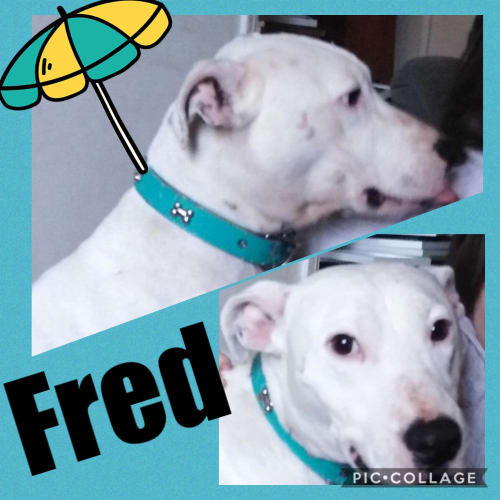 Fred - American Staffordshire Terrier Dog